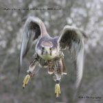 Falconry  thumbnail